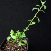 Fishweed, Lax Goosefoot two month seedling image.
