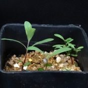 Scentbark, Creswick Apple Box two month seedling image.