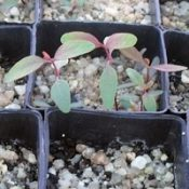 Blakely's Red-gum two month seedling image.