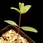 Silver-leaf Stringybark, Mealy Stringybark two month seedling image.