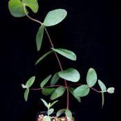 Silver-leaf Stringybark, Mealy Stringybark four months seedling image.