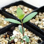 Silver Stringybark, Argyle Apple two month seedling image.