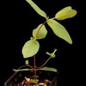 Silver Stringybark, Argyle Apple four months seedling image.