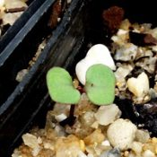 Yertchuk germination seedling image.
