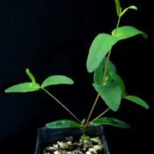 Gippsland Peppermint, Coast Peppermint four months seedling image.
