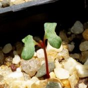Mountain Grey Gum germination seedling image.