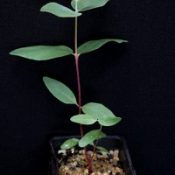 Long-leaf Box,  Bundy six months seedling image.