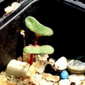 Long-leaf Box,  Bundy germination seedling image.