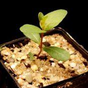 Gippsland Mallee, Bog Gum two month seedling image.