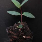 Yellow Gum two month seedling image.