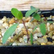 Yellow Box two month seedling image.