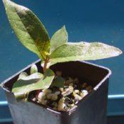 Messmate Stringybark two month seedling image.
