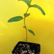 Swamp Gum four months seedling image.