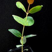 Swamp Gum six months seedling image.