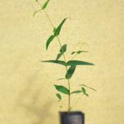 Narrow-Leaved Peppermint six months seedling image.