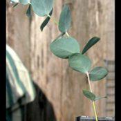 Candlebark six months seedling image.
