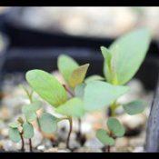Candlebark germination seedling image.