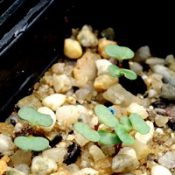 Forest Red Gum germination seedling image.