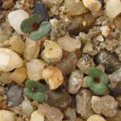 Red Ironbark germination seedling image.