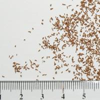 Seedling-Eucalyptus-camaldulensis-camaldulensis-seed-6.jpg