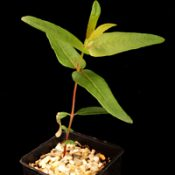 Mountain Grey Gum four months seedling image.