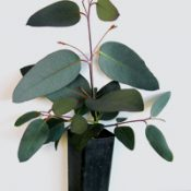 Alpine Ash,  Woollybutt four months seedling image.