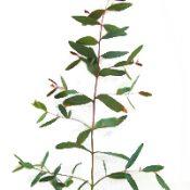 Green Scentbark six months seedling image.