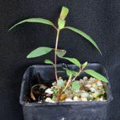 Black Box two month seedling image.