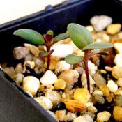 Snow Gum, White Sally germination seedling image.