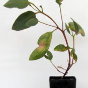 Red Mallee, Christmas Mallee six months seedling image.
