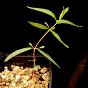 E. viminalis ssp. pryoriana (previously known as Gippsland Manna Gum) four months seedling image.