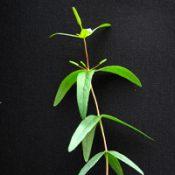 Manna Gum six months seedling image.