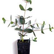 Yarra Gum two month seedling image.