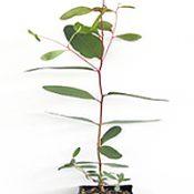 Yarra Gum four months seedling image.