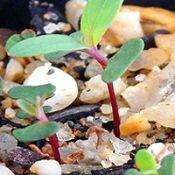 Yarra Gum germination seedling image.