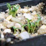 Spreading Eutaxia (previously known as Eutaxia diffusa) germination seedling image.