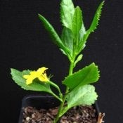 Hop Goodenia six months seedling image.