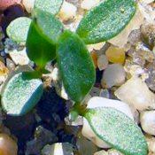 Hop Goodenia germination seedling image.