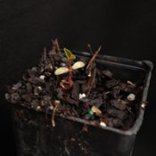 Silky Golden-tip germination seedling image.