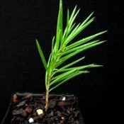 Rosemary Grevillea four months seedling image.