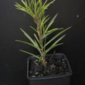 Rosemary Grevillea six months seedling image.