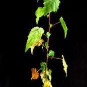 Hemp Bush six months seedling image.