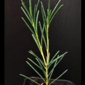 Yellow Hakea four months seedling image.