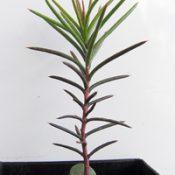 Bushy Needlewood four months seedling image.