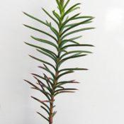 Bushy Needlewood six months seedling image.