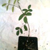 Australian Indigo two month seedling image.