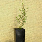 Yellow Kunzea (previously known as Kunzea ericifolia) four months seedling image.