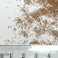 Seedling-Kunzea-ericoides-seed-6.jpg
