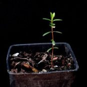 Woolly Tea-tree two month seedling image.