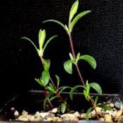 Heath Tea-tree two month seedling image.